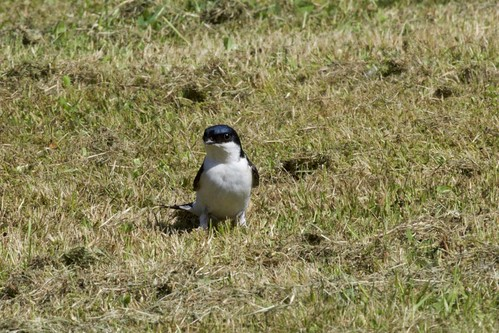 Swallow on the meadow