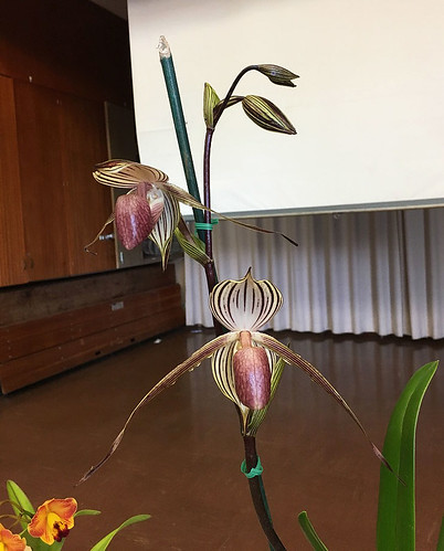 Paphiopedilum Lady Isabel | by lkchan