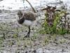 Lapwing Chick (Explored) by davidhampton1066