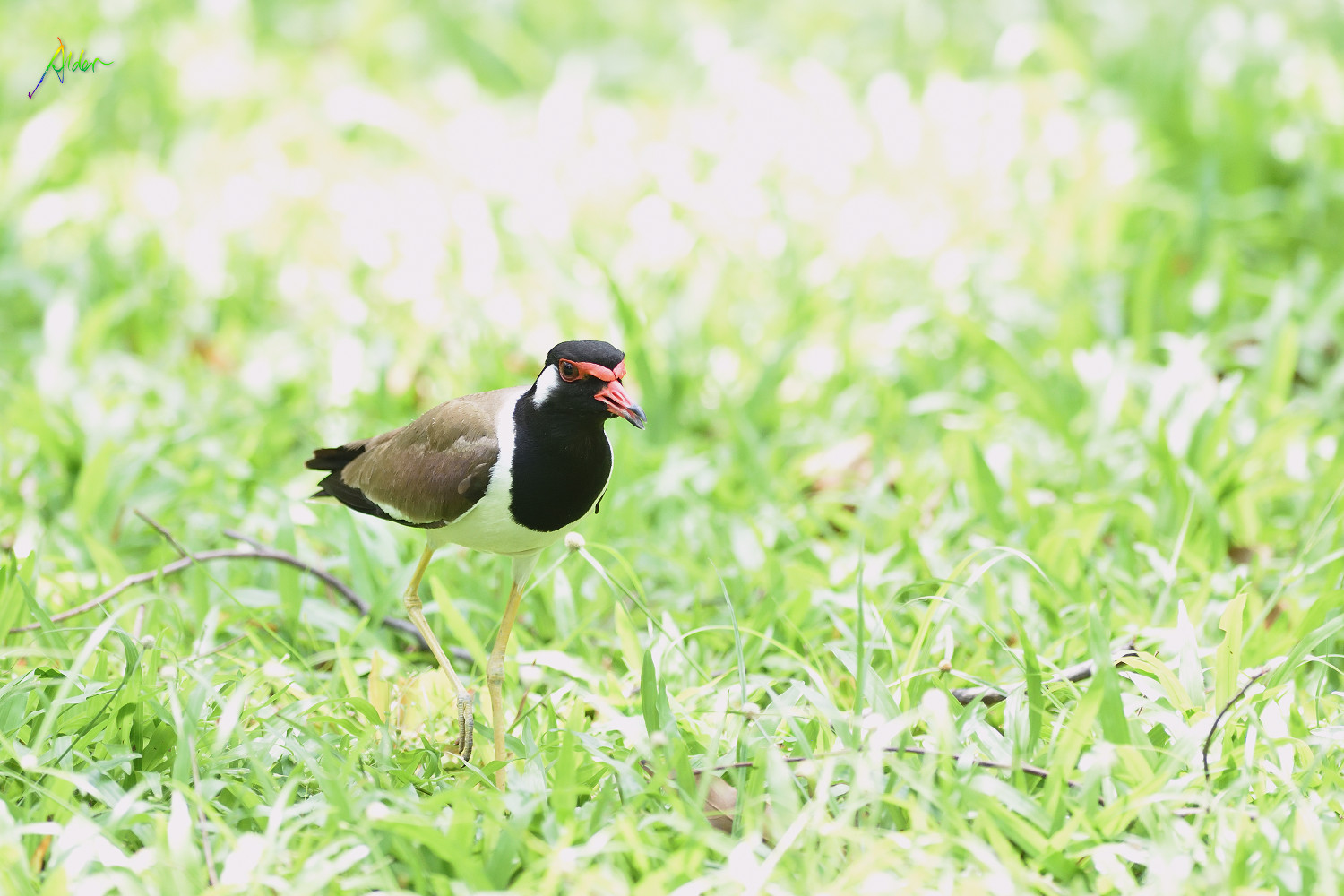 Red-wattled_Lapwing_1311