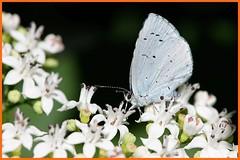 Holly blue / Azuré des nerpruns