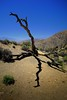 That dead tree at Keys View