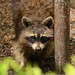 Small photo of Common Raccoon (Procyon lotor