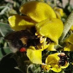 Sacred Pollinators. Lasius niger, Garden Ant, and Bombus lucorum, White-tailed Bumblebee, on Jerusalem Sage, Phlomis fruticosa, Hortus Botanicus, Amsterdam, The Netherlands