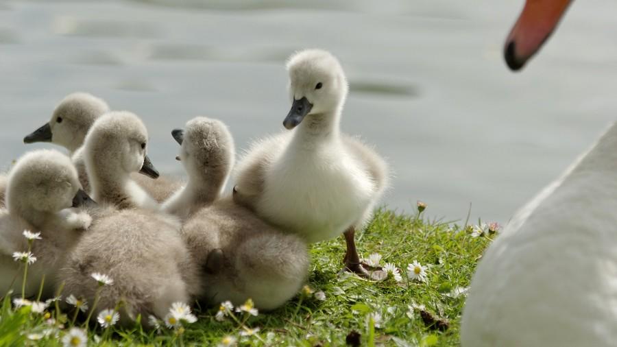 Famille de 6 cygneaux tuberculé lac Daumesnil Vincennes Paris - swan 3/4