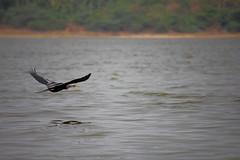 Snake Bird in flight