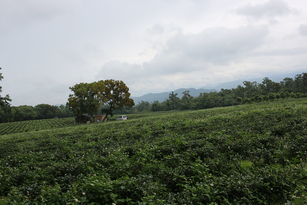 三義茶園 (17)