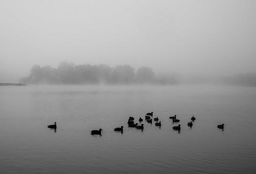 lake jellspark park victoria australia monochrome blackandwhite ducks sony misty