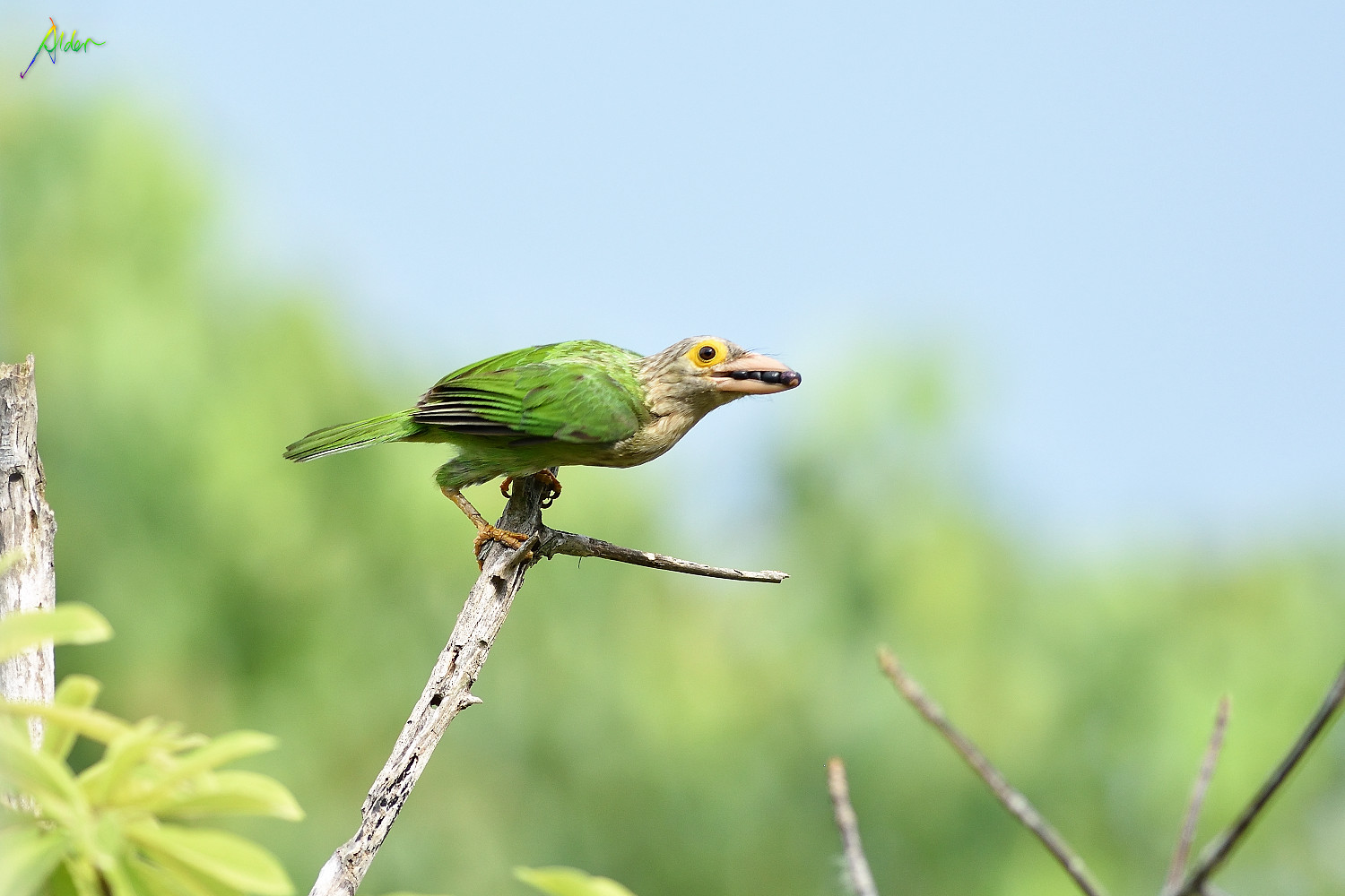 Lineated_Barbet_0838
