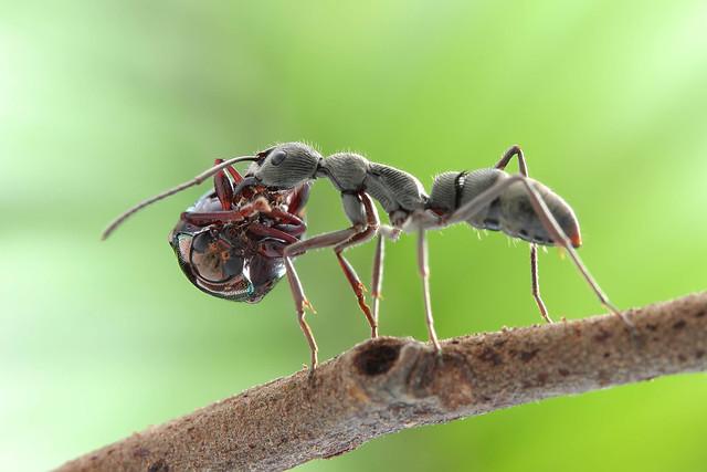 IMG_0999 Diacamma sp. ant.