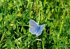 Common Blue (m) Polyommatus icarus