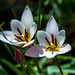Tulips by Serge Dai