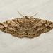 Melanolophia imitata (Western Carpet Moth) - Hodges # 6619 - Everett, WA