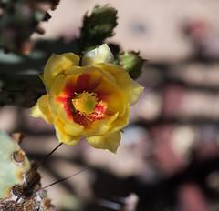 Cactus flowers_DSC8988-edit