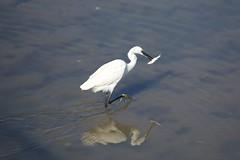 Garça Branca Pequena em acção (Small White Heron Bird in action)