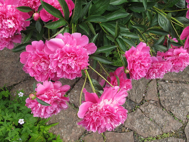 sunday, barbecue at gun's place, peonies, glumslöv