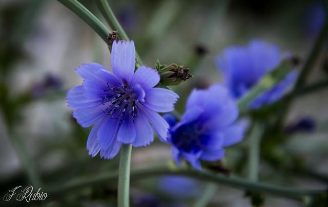 Flor de Achicoria, Canon EOS 600D, Canon EF-S 18-135mm f/3.5-5.6 IS