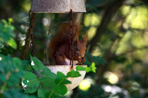 squirrel red animal trees feeding eating