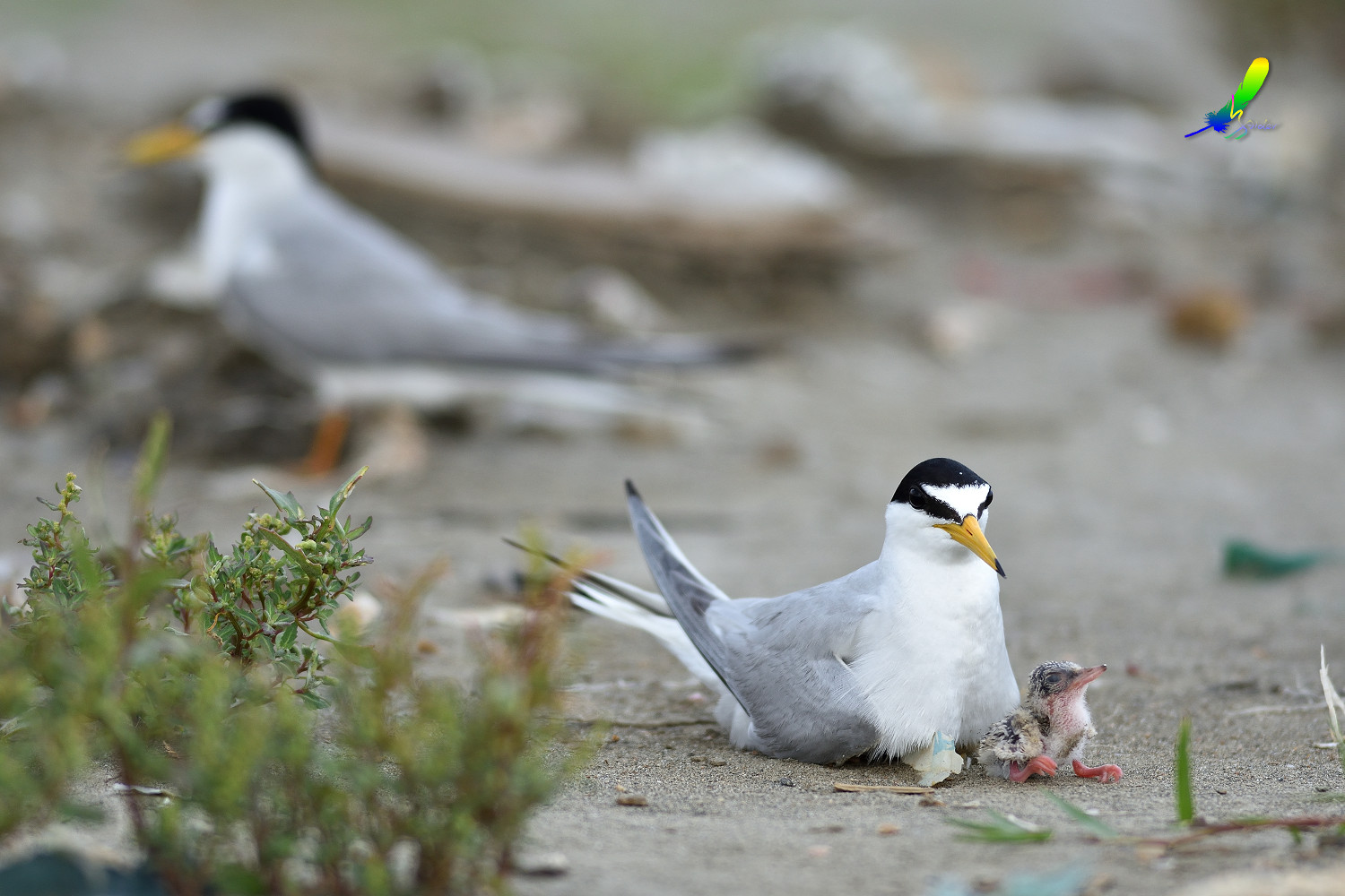 Little_Tern_8036