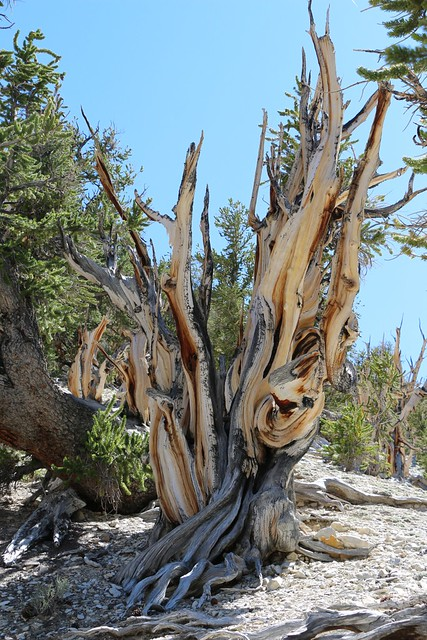 2658 Beautiful shapes and colors on the dead Bristlecone Pine stumps on the Methuselah Trail
