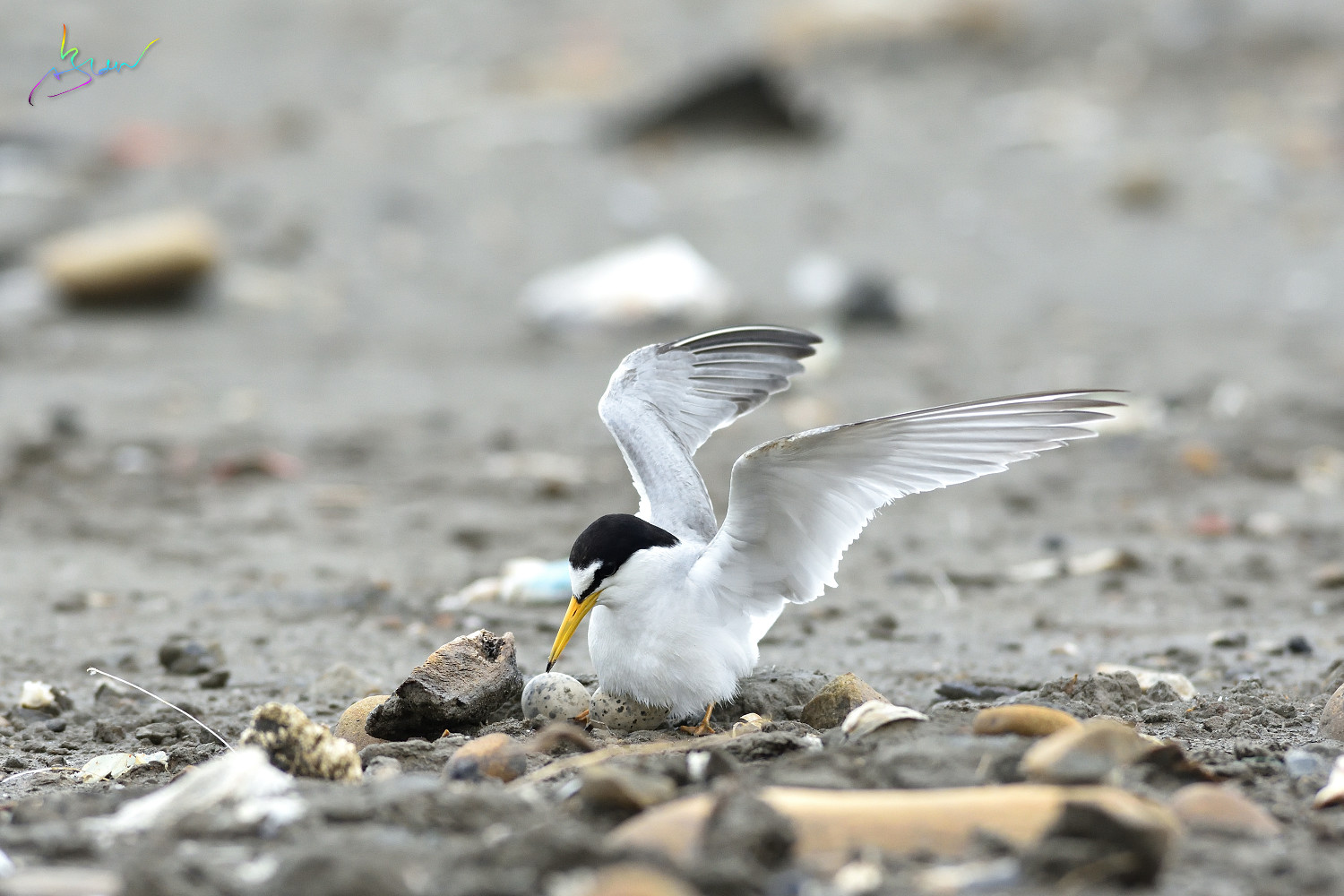 Little_Tern_3536