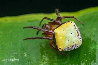Orb weaver spider (Araneus noegeatus) - DSC_6096