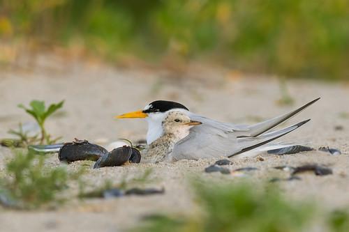 leasttern mother sand beach wildlife sternulaantillarum tern nature baby belmarbeach chick shore bird babybird belmar shells newjersey unitedstates us nikon d500