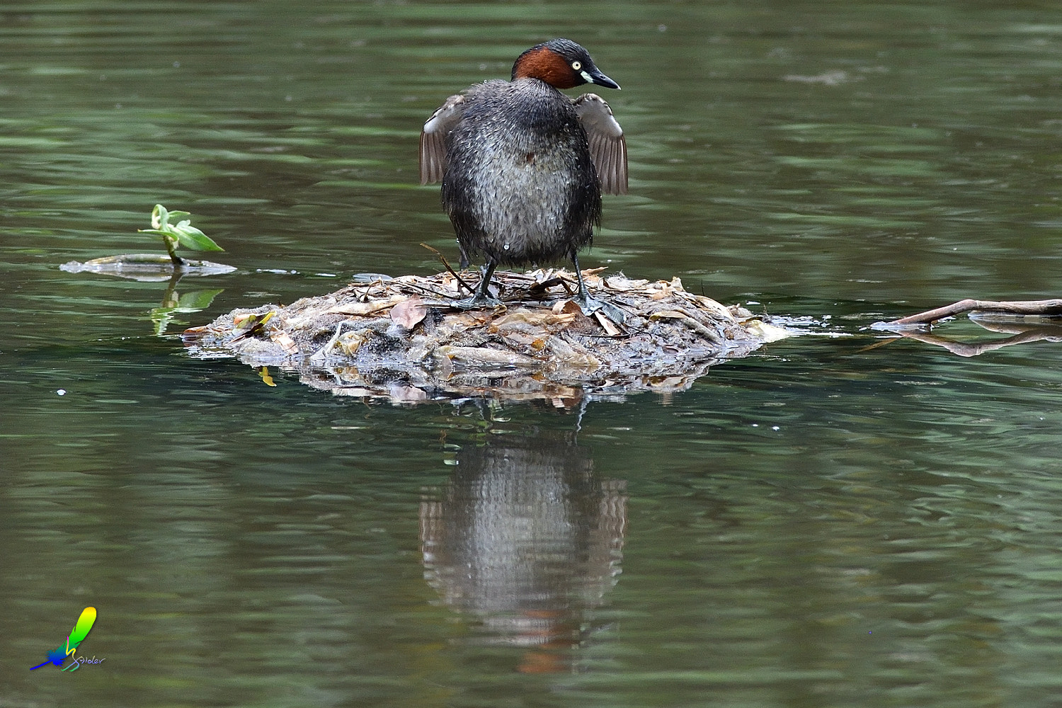 Little_Grebe_5722