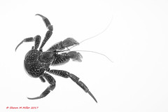 Coconut crab - Ryukyu Islands