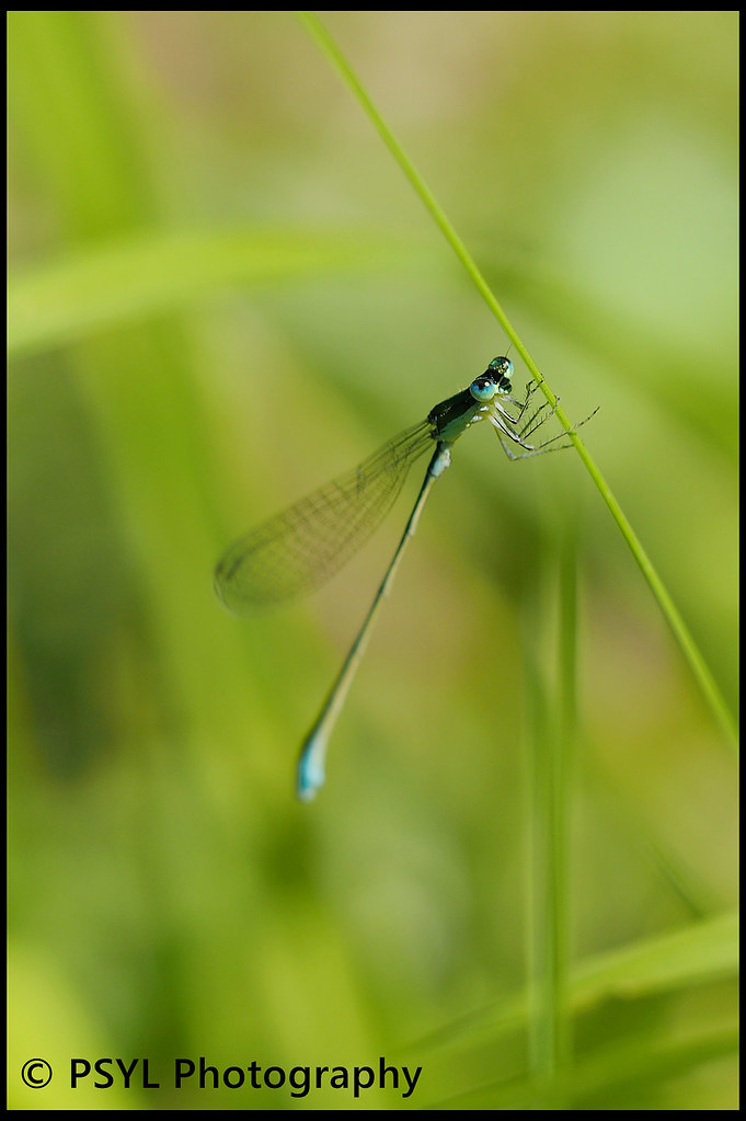Unknown damselfly (Suborder Zygoptera)