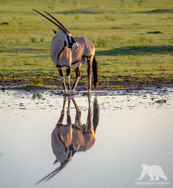 Oryx Reflections, Nikon D4S, Sigma 150-600mm F5-6.3 DG OS HSM | S
