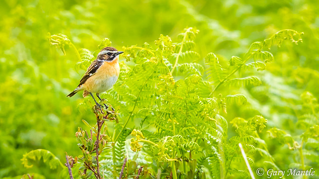 Whinchat - Saxicola rubetra, Canon EOS-1D X MARK II, Canon EF 500mm f/4L IS II USM + 1.4x