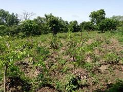 Organic African Yams Farm, Langa Langa Village, Nasarawa State, Nigeria. #JujuFilms