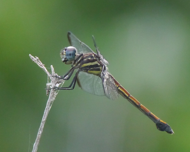 Gray-waisted Skimmer Female - 2