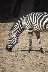 zebra grazing profile
