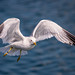 The Common Gull  ( Larus canus ). by Kristian Ohlsson