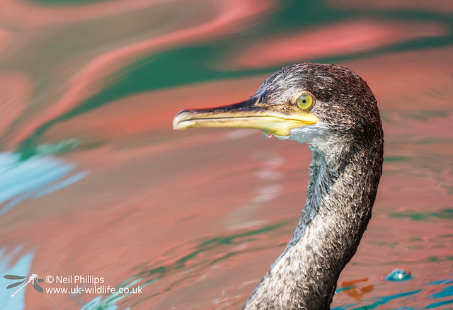 Juvenile shag in Looe Harbour-3