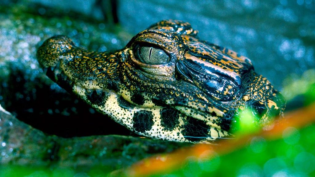 West African Dwarf Crocodile_1