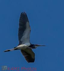 Great Blue Heron 2 2017-06-25