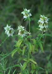 beebalm in the evening