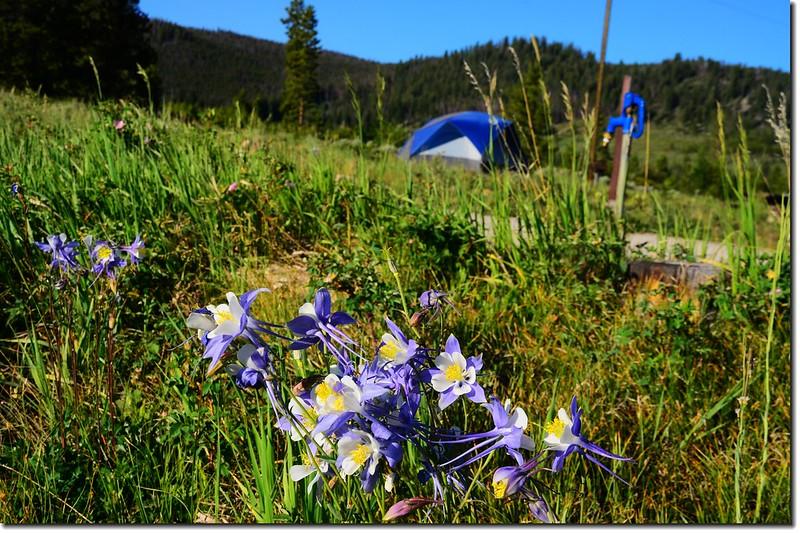 營地野花~Columbine 3