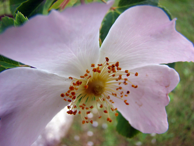 EGLANTINE rose - BOOS-Landes., Sony DSC-H9