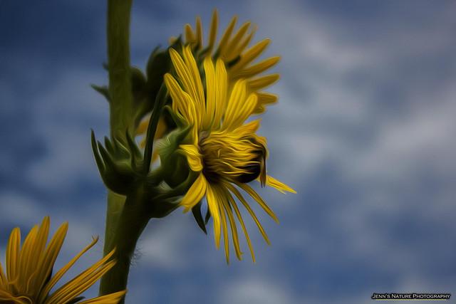 Edited - Bee on Rosinweed