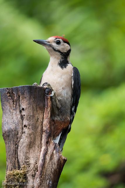 millers-wood-july-2017-bird-great-spotted-woodpecker-19, Nikon D810, Sigma 150-600mm F5-6.3 DG OS HSM | S