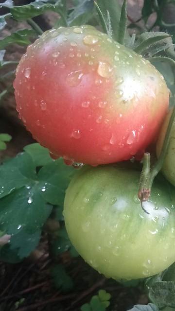 정중동 아침풍경 | 토마토