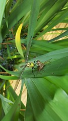 HolderSouthern Hawker Emerging on my pond