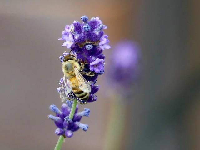 Lavendel und Bienchen...