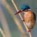 Malachite Kingfisher (Tim Melling)