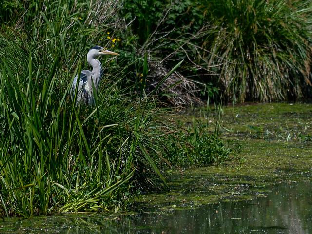Heron on the hunt, Nikon DF, AF Zoom-Nikkor 80-200mm f/4.5-5.6D