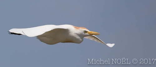 Héron garde-boeufs Bubulcus ibis - Western Cattle Egret : Michel NOËL © 2017-7108.jpg